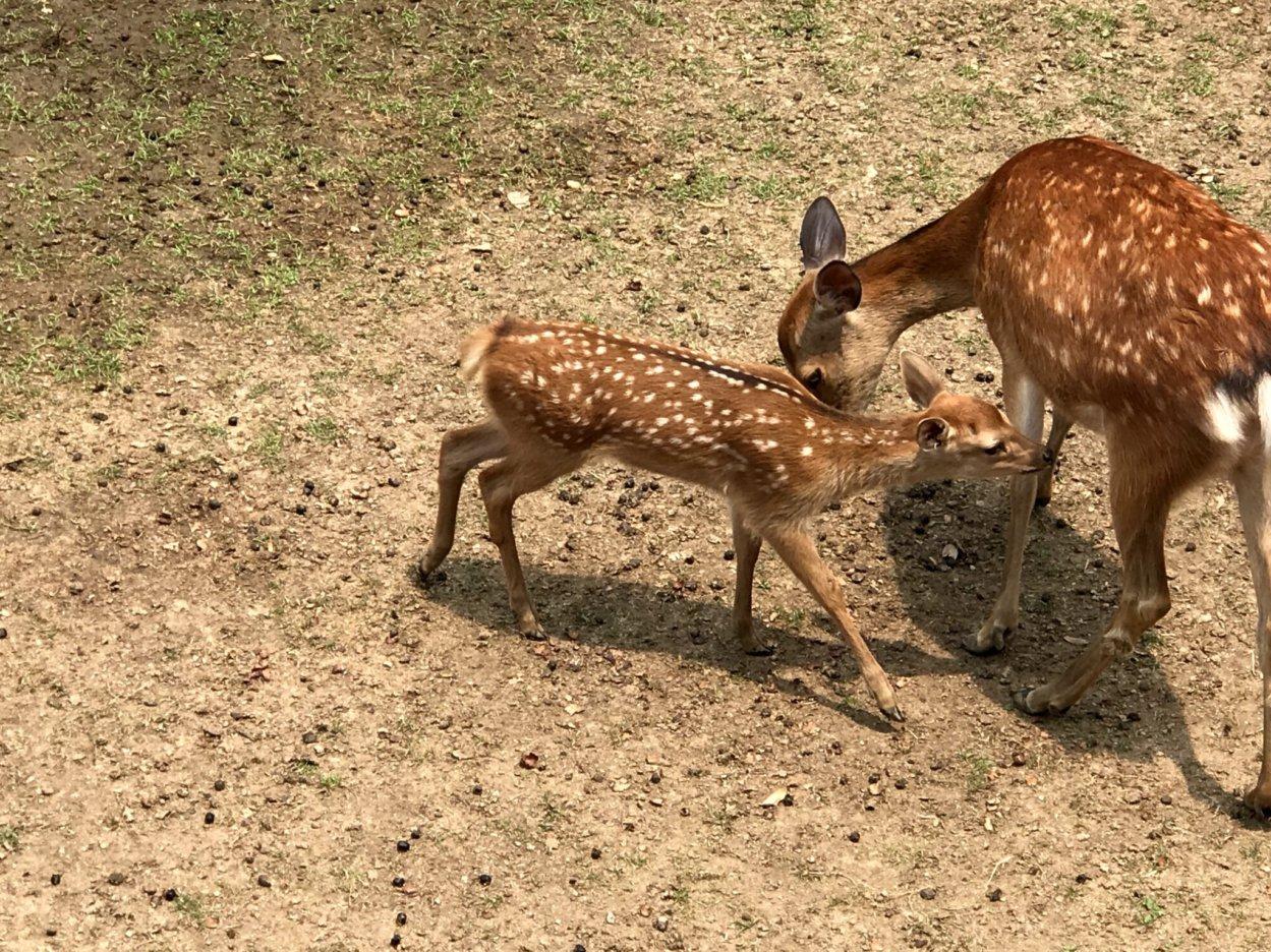 奈良の子鹿