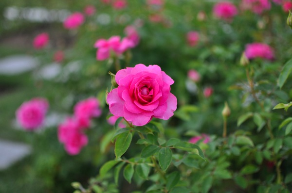 2014年・秋シーズンのバラ鑑賞始まってます。今年も大阪・中之島公園のバラ園に行ってきました!