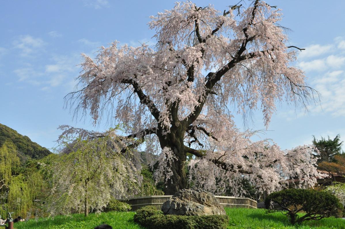 京都・洛東エリアの桜は満開!「清水寺」、「円山公園」の桜を撮影してきました。